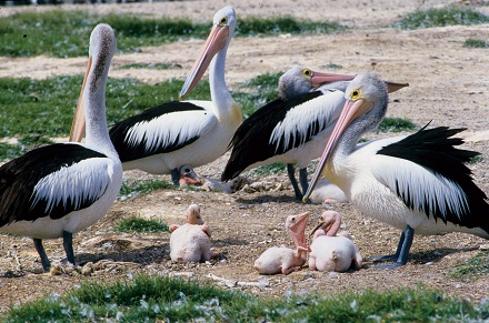 pelican breeding green island