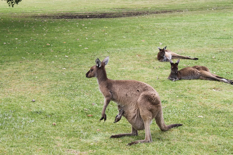 Kangaroos in the wild
