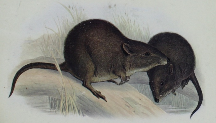 gillberts potoroo east bay beach