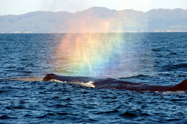 ALBANY WHALES AND RAINBOWS