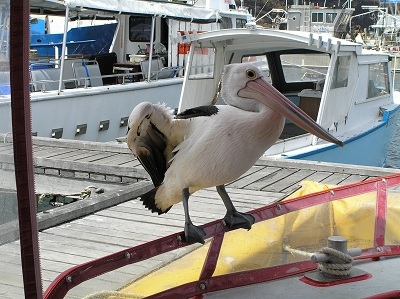 perch the pelican