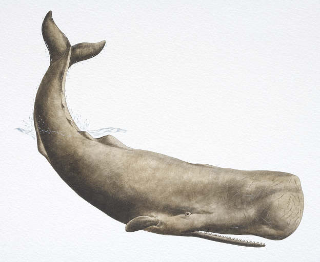 albany sperm whale
